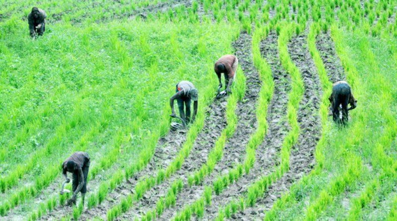 rice agriculture nigeria 1024x681 1